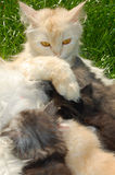 Mother cat feeding her kittens. Mother cat feeding her four coloful kittens outdoors. Close-up Royalty Free Stock Photo