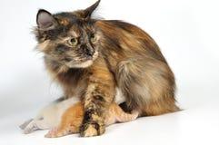 Mother Cat Feeding Kitten Stock Photo