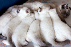 Mother cat feeding kittens Stock Photography