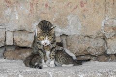 Mother Cat Royalty Free Stock Photography