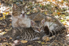 Mother cat feeding puppy. Mother cat while giving milk to blind ill puppy royalty free stock photo