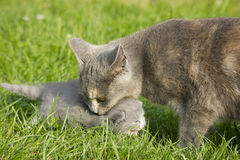 Mother cat Stock Images
