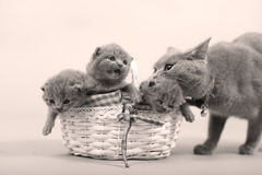 Mother cat with her baby. Mother cat carrying her kitten in her mouth, puts it back in the basket royalty free stock images
