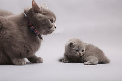 Mother cat with her baby Royalty Free Stock Image