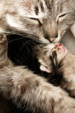Mother cat and her daughter - close-up Royalty Free Stock Images