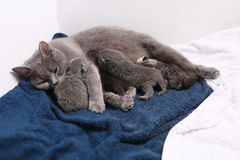 Mother cat hugging her babies Royalty Free Stock Images