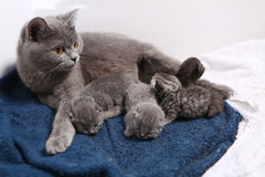 Mother cat hugging her babies Stock Images
