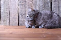 Mother cat hugging her kitten Royalty Free Stock Images