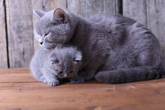 Mother cat hugging her kitten Royalty Free Stock Image