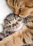 Mother cat hugging kitten Royalty Free Stock Image