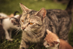 Mother cat and its many little cubs Stock Photos