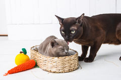 mother cat kisses, washes, licks her baby kittens. Wicker basket, white background Stock Photos