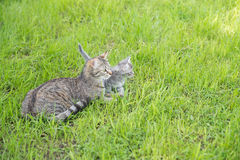 Mother cat with kitten on grass background Royalty Free Stock Images