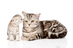 Mother cat with kitten. isolated on white background.  Royalty Free Stock Image