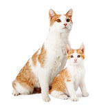 Mother Cat And Kitten Siting Together Stock Image