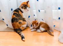 Mother cat and kitten sitting near the curtains. Ginger and white kitten looking at the tail of adult tricolor cat. royalty free stock photography