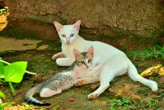 Motherly affection of cat. Unique portrait of green and blue eyed white mother cat and little kitten found in  Kerala Royalty Free Stock Photos