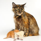 Mother cat with kittens Royalty Free Stock Images