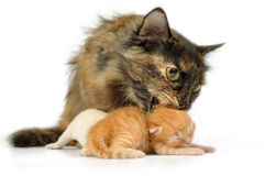 Mother cat with kittens Royalty Free Stock Image