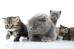 Mother cat with kittens Stock Images