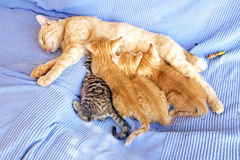 Mother cat with kittens Stock Photo