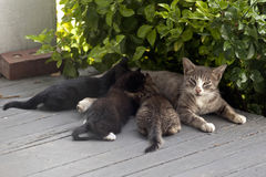 Mother cat and kittens Stock Photos