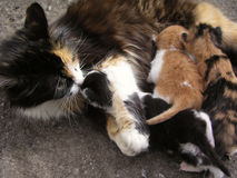 Mother cat with kittens. Stock Photo