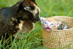 Mother cat and kitty Royalty Free Stock Image