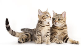 mother cat and the little kitten Stock Images