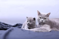 Mother cat loving her kittens. British Shorthair cats family portrait, white background royalty free stock images