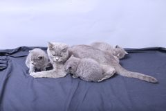 Mother cat loving her kittens. British Shorthair cats family portrait, white background royalty free stock photo
