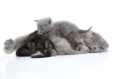 Mother cat milk feeding her kittens Stock Image