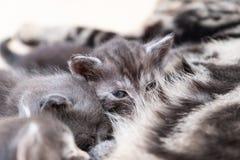 Mother cat nursing babies kittens, close up Royalty Free Stock Photo
