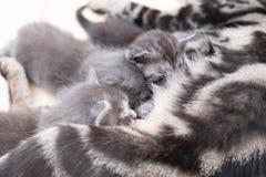 Mother cat nursing babies kittens, close up Royalty Free Stock Photos