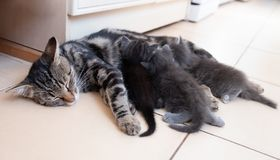 Mother cat nursing babies kittens, close up Royalty Free Stock Photography