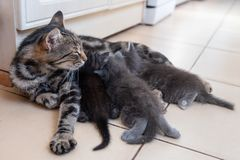 Mother cat nursing babies kittens, close up Stock Photo