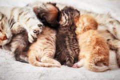 Mother cat nursing baby kittens Stock Photography