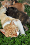Mother cat nursing Royalty Free Stock Photography