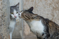 Mother cat seems to want to kiss Royalty Free Stock Photography