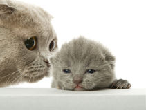 Mother-cat and small kitten Stock Photos