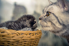 Mother cat with a small kitten. Basket Stock Image