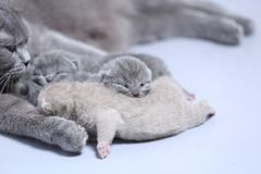 Mother cat takes care of her kittens Stock Photos