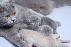 Mother cat takes care of her kittens Stock Images