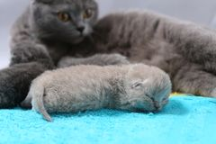 Mother cat takes care of her kittens Royalty Free Stock Image