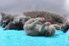 Mother cat takes care of her kittens, cute face Stock Photo