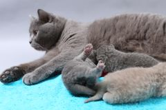 Mother cat takes care of her kittens, cute face Royalty Free Stock Images