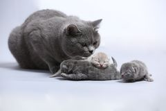 Mother cat takes care of her newly born kittens. British Shorthair mom taking care of her little baby kittens, new born, white background Stock Image
