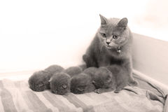 Mother cat taking care of her babies Royalty Free Stock Photo