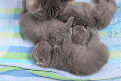 Mother cat taking care of her babies Stock Images
