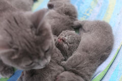 Mother cat taking care of her babies Stock Photos